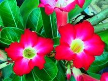 Twee azaleabloemen in tuin royalty-vrije stock afbeelding