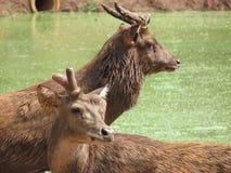 Twee Aziatische deers die verschillende richtingen onderzoeken royalty-vrije stock afbeeldingen