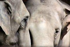 Twee Aziatische olifanten Royalty-vrije Stock Foto's