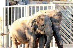 Twee Aziatische olifanten Stock Afbeelding