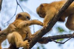 Twee Baby Gouden Stompneuzige Apen die met elkaar spelen royalty-vrije stock foto's