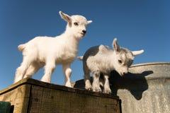 Twee baby pygmy geiten Stock Afbeeldingen