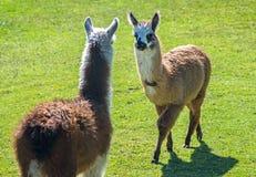 Twee babylama's die elkaar onder ogen zien Royalty-vrije Stock Afbeeldingen