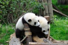 Twee babypanda's spelen Stock Afbeeldingen
