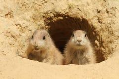 Twee babyprairiehonden die uit hun hol kijken Royalty-vrije Stock Fotografie