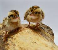 Twee babyvogels Royalty-vrije Stock Afbeeldingen