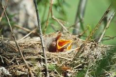 Twee babyvogels Royalty-vrije Stock Afbeelding