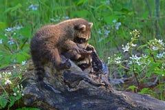 Twee babywasberen die uit een hol logboek komen Stock Foto