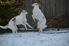 Twee Barzoi het spelen in de sneeuw Royalty-vrije Stock Afbeeldingen