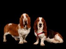 Twee Basset Honden Stock Foto's