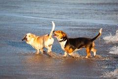 Twee basset honden door overzees Royalty-vrije Stock Afbeeldingen