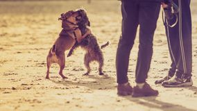 Twee bastaarde honden die samen op strand spelen Stock Fotografie