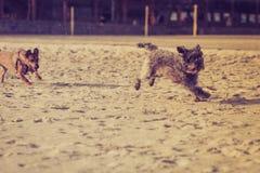 Twee bastaarde honden die samen op strand spelen Stock Foto