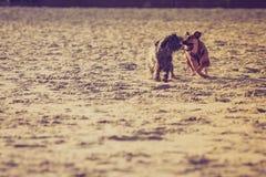 Twee bastaarde honden die samen op strand spelen Stock Afbeelding