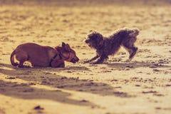 Twee bastaarde honden die samen op strand spelen Stock Foto's