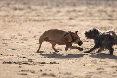 Twee bastaarde honden die samen op strand spelen Stock Afbeeldingen