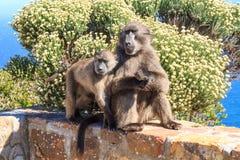 Twee bavianen royalty-vrije stock afbeeldingen