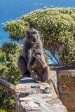 Twee bavianen royalty-vrije stock fotografie