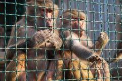 Twee bavianen in de kooi stock foto's