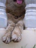 Twee Benen van Siberisch Husky Hanging stock foto's