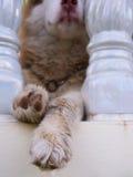Twee Benen van Siberisch Husky Hanging stock afbeeldingen