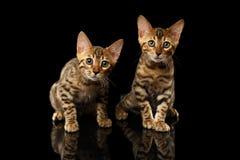 Twee Bengalen Kitty Looking in camera op Zwarte royalty-vrije stock foto's