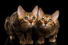 Twee Bengalen Kitty Looking in camera op Zwarte stock foto's