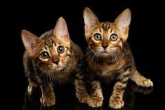 Twee Bengalen Kitty Looking in camera op Zwarte royalty-vrije stock fotografie
