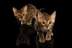 Twee Bengalen Kitty Looking in camera op Zwarte royalty-vrije stock afbeeldingen