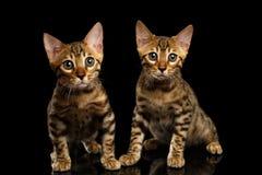 Twee Bengalen Kitty Looking in camera op Zwarte stock afbeeldingen