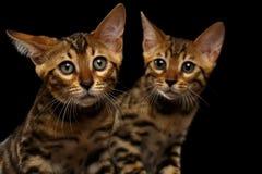Twee Bengalen Kitty Looking in camera op Zwarte stock foto