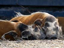 Twee beren die naast elkaar slapen royalty-vrije stock afbeeldingen