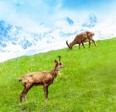 Twee berggeiten royalty-vrije stock fotografie