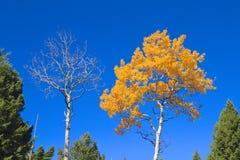Twee Berktreetops in de Herfst Stock Foto