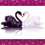 Twee bevallige zwanen in liefde Stock Foto