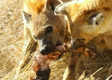 Twee bevlekte hyaena Stock Afbeeldingen