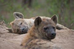 Twee bevlekte hyena's die bij de ingang aan hun hol rusten stock foto's