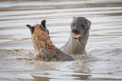 Twee bevlekte hyena's die in diep water spelen stock foto's