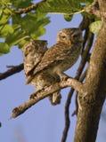Twee Bevlekte Jonge uilen Royalty-vrije Stock Afbeelding