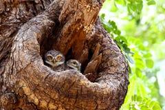 Twee Bevlekte Jonge uilen Royalty-vrije Stock Afbeeldingen