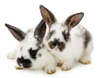 Twee bevlekte konijnen Royalty-vrije Stock Foto's
