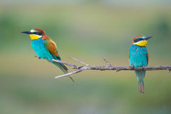 Twee bij-eters die op een tak zitten Stock Foto