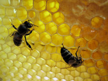 Twee bijen Royalty-vrije Stock Afbeelding
