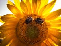 Twee bijen op de zonnebloem stock foto