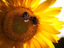 Twee bijen op de zonnebloem stock foto's