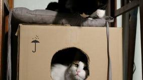 Twee binnenlands kattenspel in een kartondoos thuis stock footage