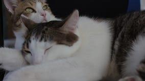 Twee binnenlandse volwassen gestreepte katkatten die samen thuis slapen stock footage
