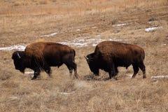 Twee Bison Walking Together Stock Afbeeldingen