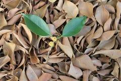 Twee bladeren en vruchten over droge bladeren Royalty-vrije Stock Afbeeldingen