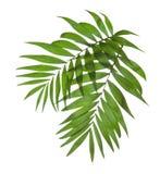 Twee bladeren van een palm royalty-vrije stock fotografie